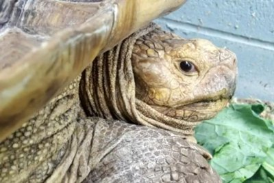 Speedy 100-pound tortoise captured in Virginia road