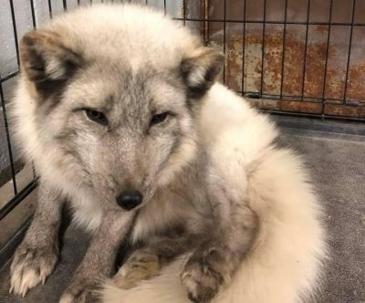 Arctic fox found wandering loose in Michigan