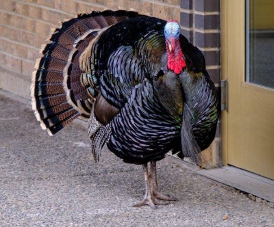 Wandering turkey gives police the slip in Calgary