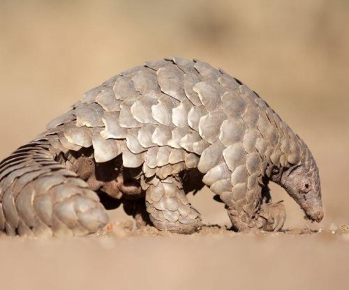 Pangolin, bat role in coronavirus path to humans remains unclear