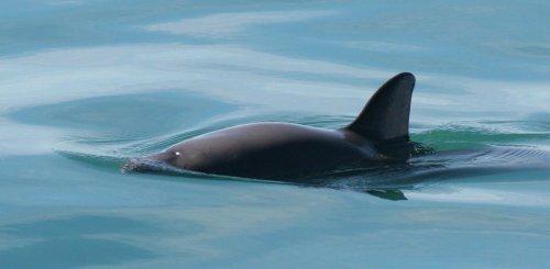 Vaquita porpoise on the verge of extinction