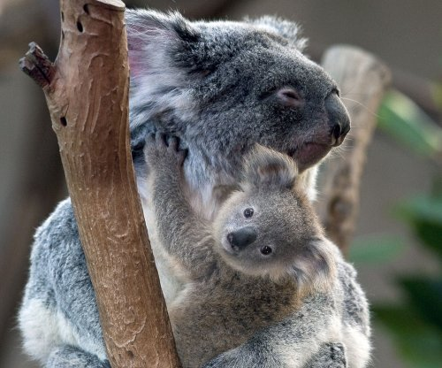 Almost 700 koalas secretly killed in Australia, overpopulation cited