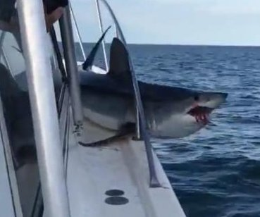 Massive shark jumps onto boat off Long Island, gets stuck