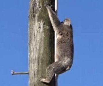 Koala rescued from top of power pole in Australia