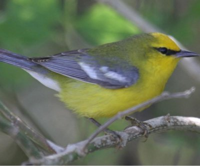 Territorial aggression between bird species more common than thought