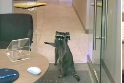Two raccoons ejected from inside California bank
