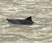 Young dolphin makes rare visit to River Thames in London