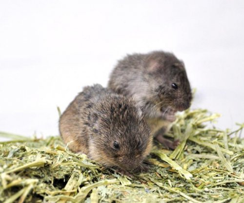 Study: Prairie voles more comfortable, less stressed in numbers than alone