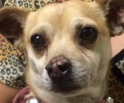 Chihuahua named Jack Sparrow tests positive for meth, owner arrested