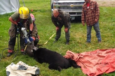 Bear freed from metal cream can stuck on head