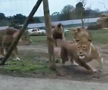 Lions attack visitor's car at British safari park