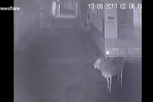 Fearless cows chase off lions in Indian village