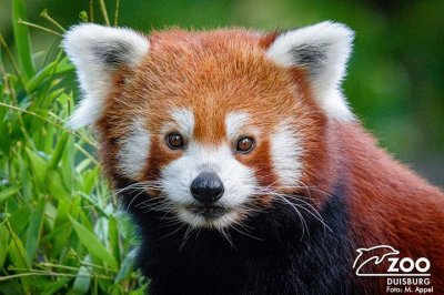 Escaped red panda captured a day later on grounds of German zoo