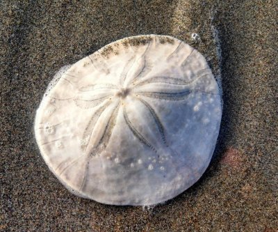 Sand dollar found off Florida coast could be world's largest