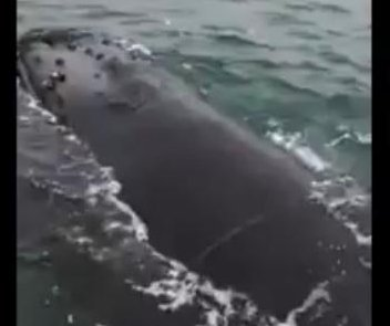 Fishermen free humpback whale from tangled net off New Jersey