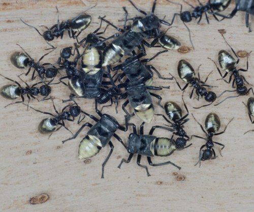 Australia's largest mimicry group uses golden sheen to deter predators