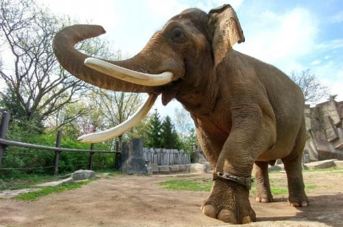 Humans have an obesity problem, Asian elephants don't