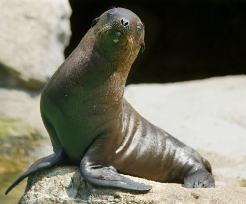 Hungry sea lion pup takes seat at California restaurant