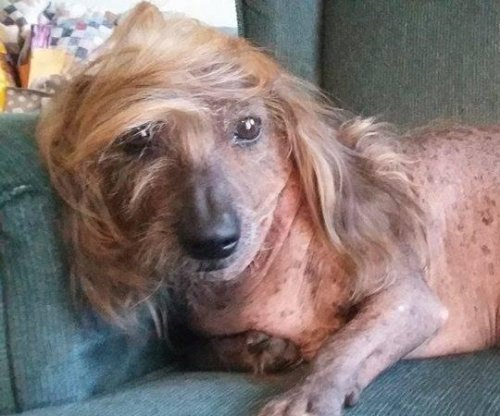 Odd-looking canines gather for 'World's Ugliest Dog Contest'