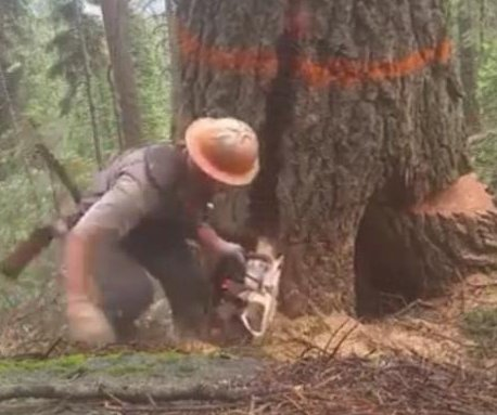 Lumberjack runs to safety as massive tree splits
