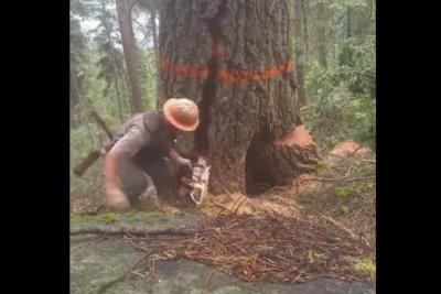 Lumberjack runs to safety as massive tree splits
