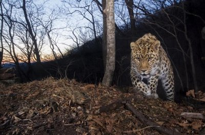 Just 84 highly Amur leopards remain in the wild, study finds