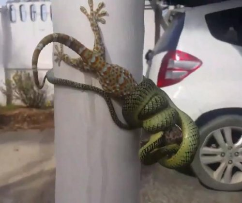 Man separates snake and lizard in stand-off