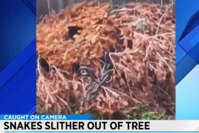 Den of snakes slither out of dead tree in Florida