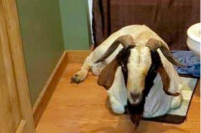 Goat smashes its way into Ohio home, takes a nap in bathroom