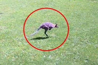 Authorities tracking loose wallaby or kangaroo in Pennsylvania