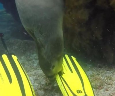 Playful sea lion pup chews on scuba diver's flippers