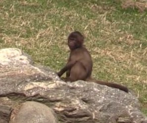 Bronx Zoo shows off first baby gelada in U.S. since 2002