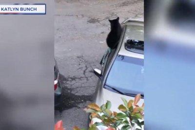 Bear cubs break into woman's car to steal fries, tea