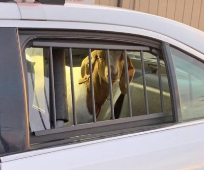 Fugitive goat captured after 'evading law enforcement' in Alaska