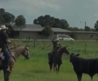 Deputies on horseback lasso loose bull in Florida