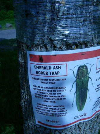 Invasive, ash-boring beetle nearing New Hampshire border