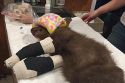 Little bear cub burned by wildfire recovering, but needs skin grafts