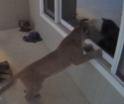 Mountain lion caught on camera looking through Wisconsin window