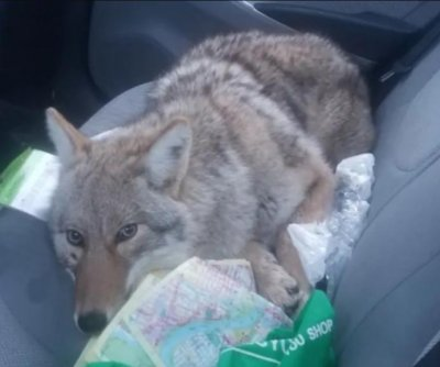 'Dog' rescued by driver who struck it turns out to be wild coyote