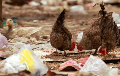 WHO, China to study avian flu that killed 17, sickened 91 in China