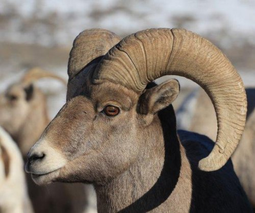 Study: Inbreeding not to blame for bighorn sheep decline