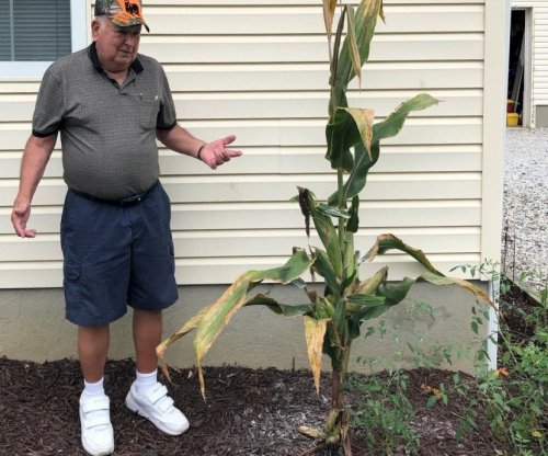 Corn stalk sprouts 28 cobs, might be a new Guinness record