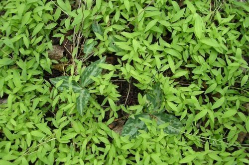 Resilient, opportunistic plants are most invasive threat, study shows