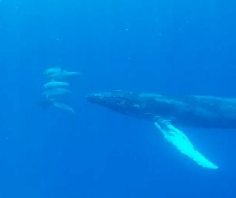Humpback whale plays with dolphins off Hawaii