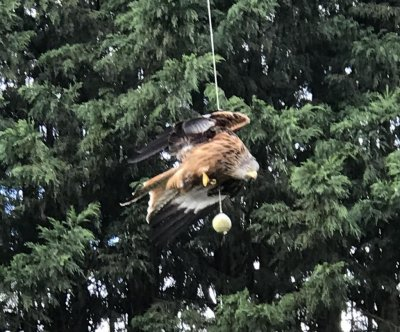 Bird of prey found dangling from broken swingball cord