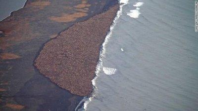 35,000 walruses haul out of ocean, crowd Alaskan shore