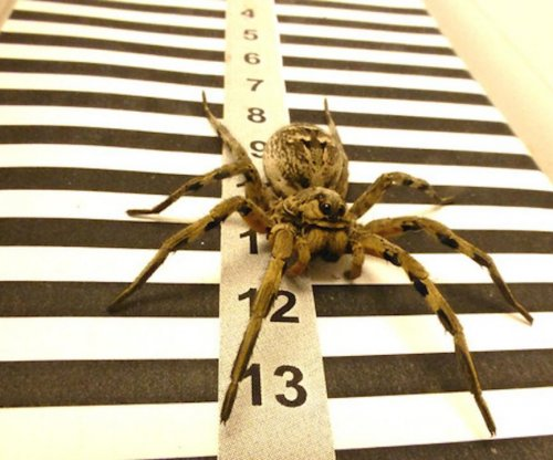 Tarantulas measure distance with their lateral eyes