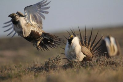 Battle over sage grouse habitat heats up in the West