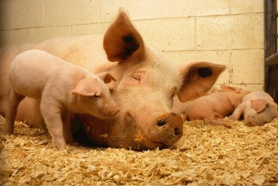 Industry group sues California over mandate on cage space for farm animals