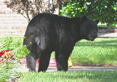 Florida man shoots 500-pound black bear in his house